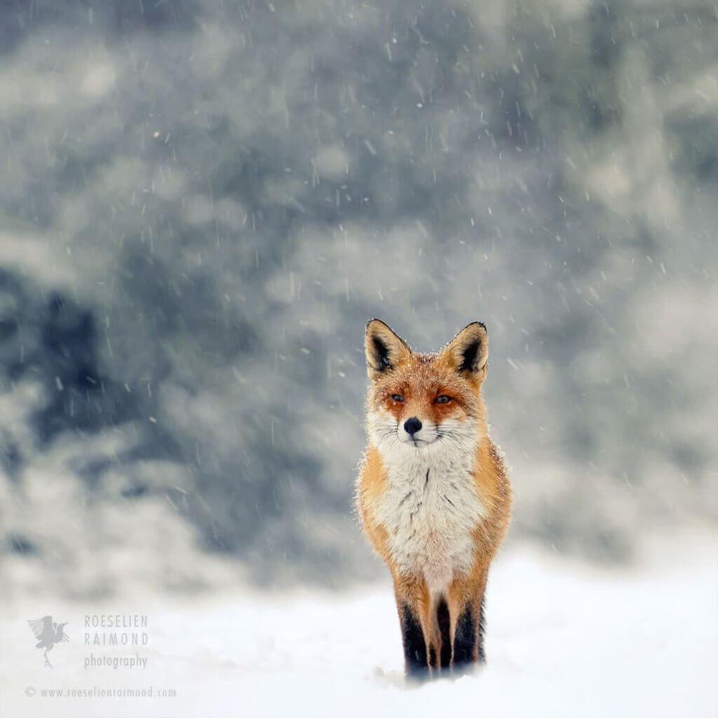 白雪童話狐狸