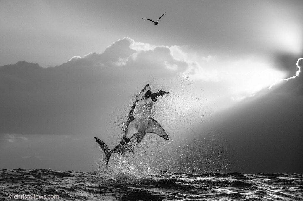 great white shark photo chris fallows
